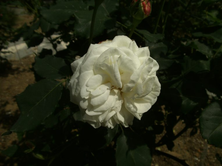 BOULE DE NEIGE-the only one white bourbon rose