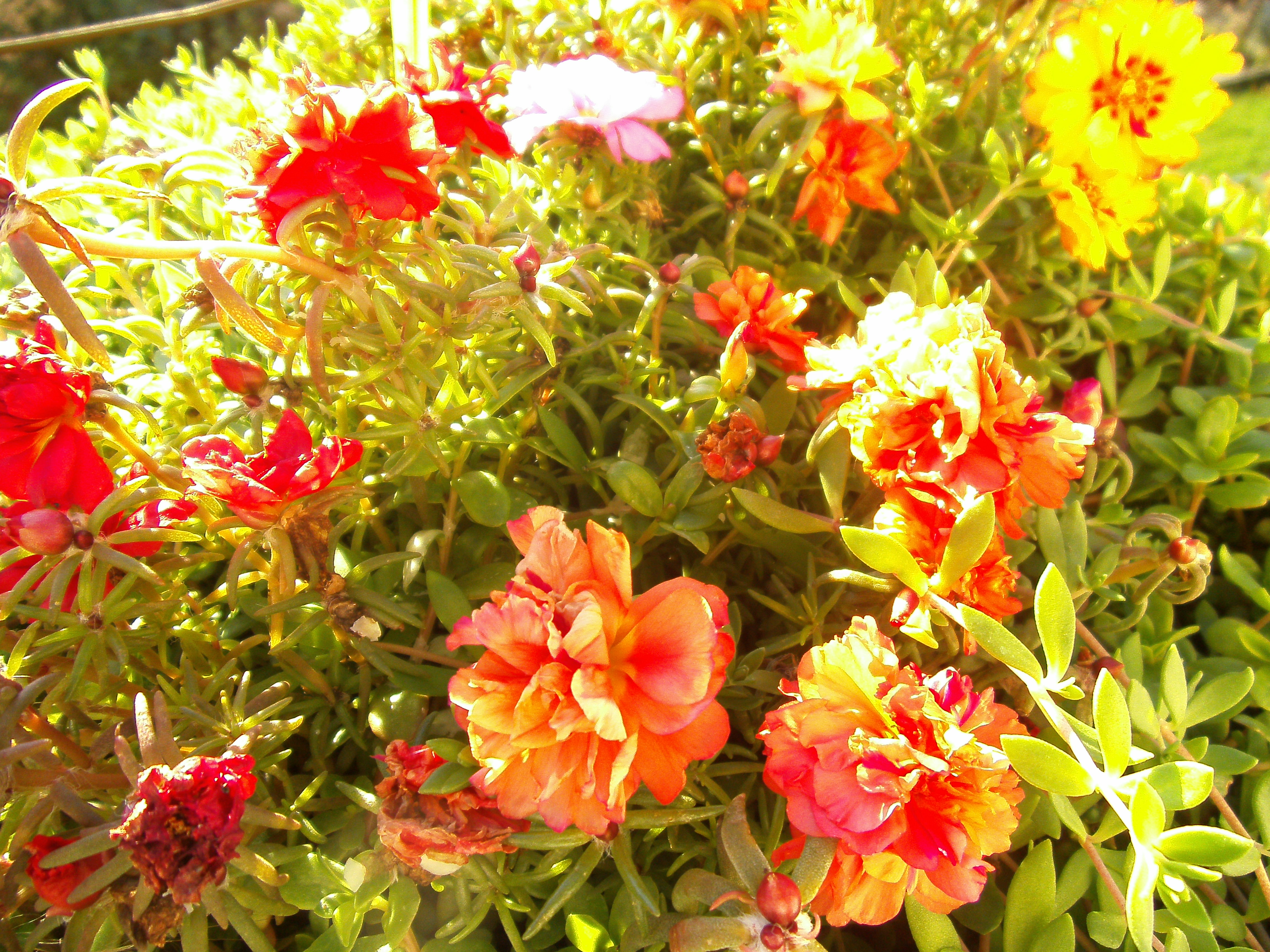 Ten Oclock Flower My Botanical Garden