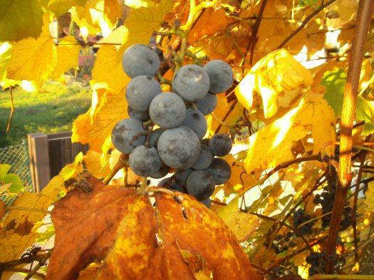 Grapes in late sun