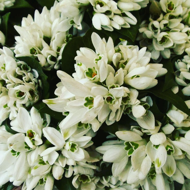 White spring flowers Snowdrops or Galanthus nivalis  bouquets  at the market close up photography Tamara Jare