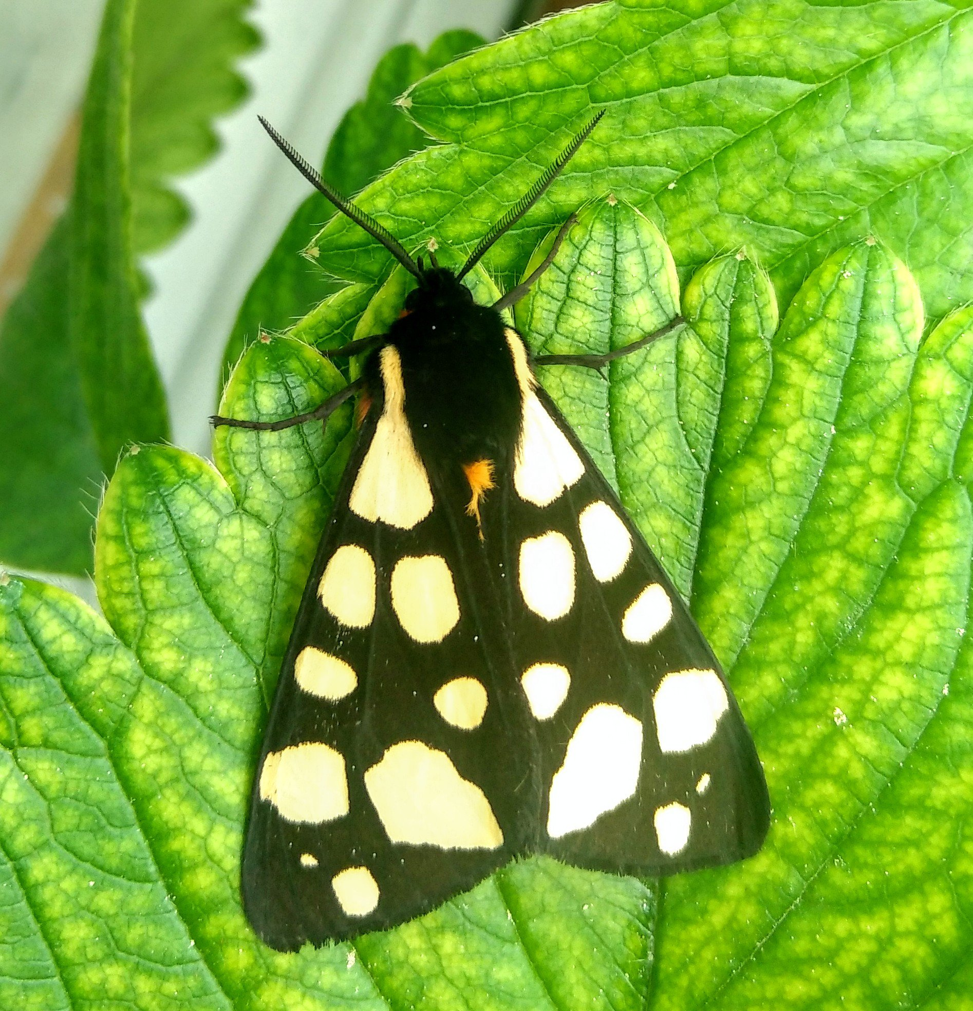 Black and white moth butterfly on green strawberry leaves nature photography by Tamara Jare
