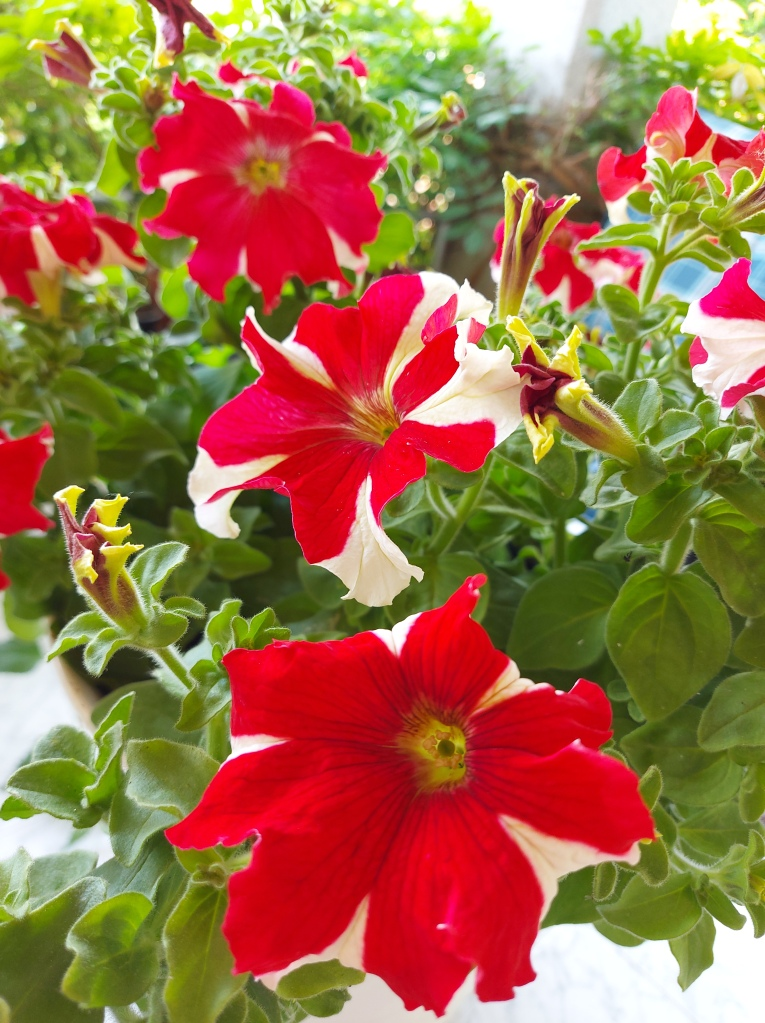 Red and white striped flowers petunia potted photography Tamara Jare