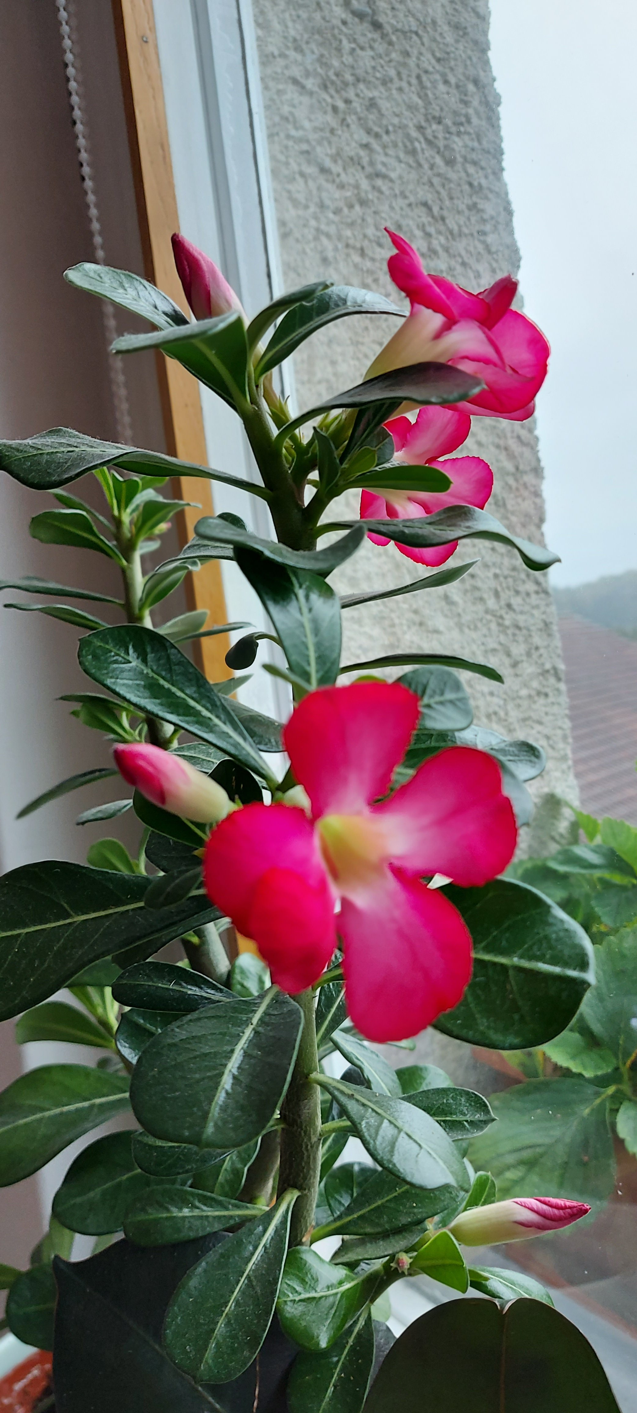 Desert rose pink flowers on plant on the window photography Tamara Jare